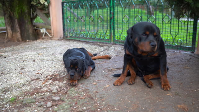 Amazing watchdogs lying on the ground and looking on camera. Two rottweilers gurading house territory, beautiful pets playing outdoors