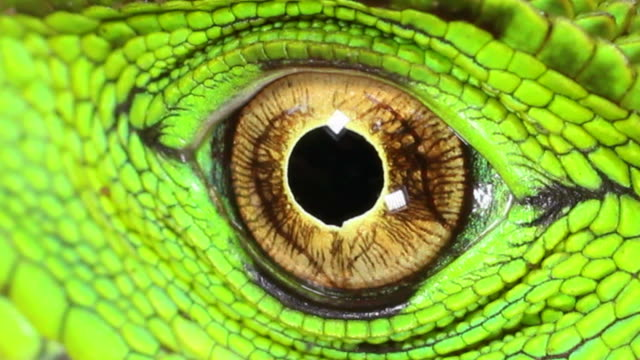 stockvideo's en b-roll-footage met amazon forest dragon (enyalioides laticeps) - reptiel