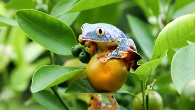 Amazon Leaf Frog /Fringe Tree Frog (Cruziohyla craspedopus) in Fruit Tree - 4K Video video