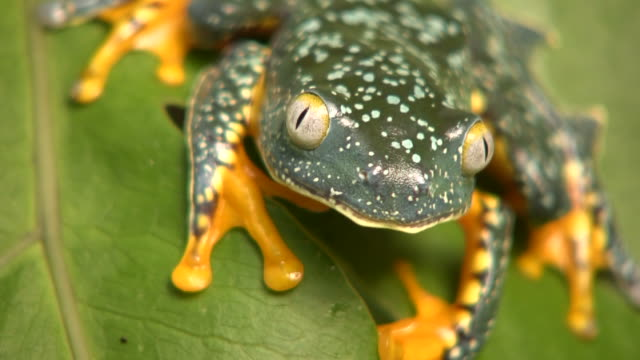 Amazon Leaf Frog (Cruziohyla craspedopus) video