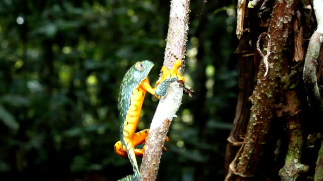 Amazon leaf frog (Cruziohyla craspedopus) Climbing up a n aerial root. In the Ecuadorian Amazon frog stock videos & royalty-free footage
