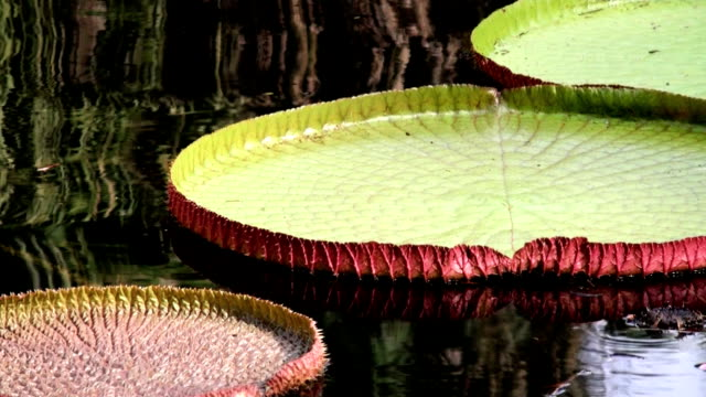 Amazon Lily Pads video