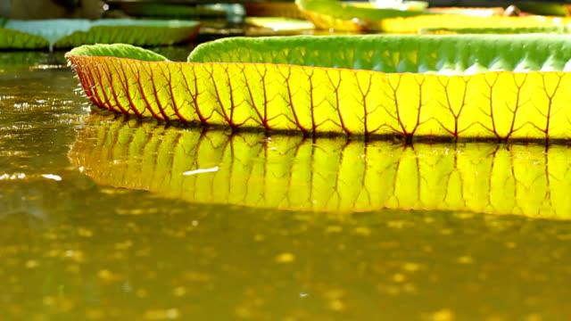 Amazon lotus leaf video