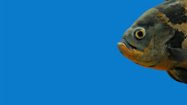 Amazon Tropical Fish - Tiger Oscar, Blue Background, Blue Screen video