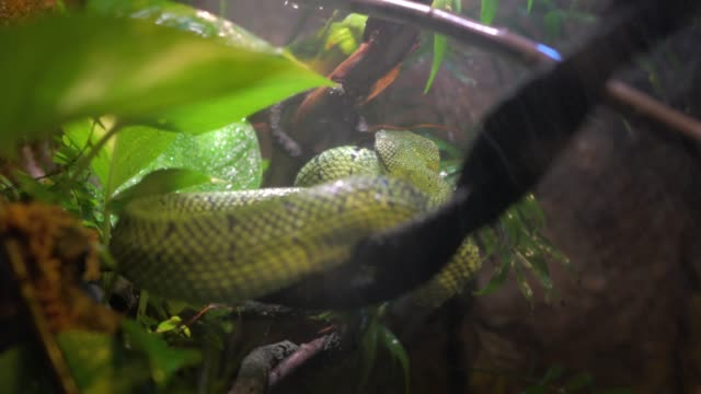 amazonian green tree python snake in rain forest storm video