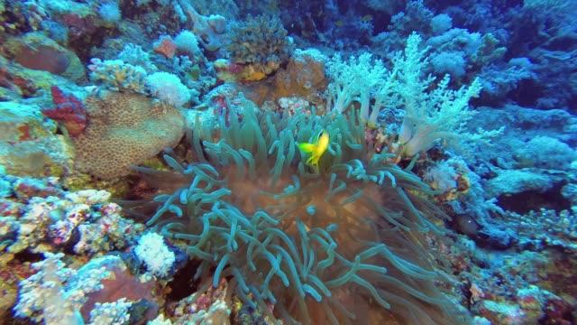 mit anemonefish nähert sich die amemen. rotes meer anemonefish oder dreibandige anemonefish - amphiprion bicinctus, unterwasser-aufnahmen - endemisch stock-videos und b-roll-filmmaterial
