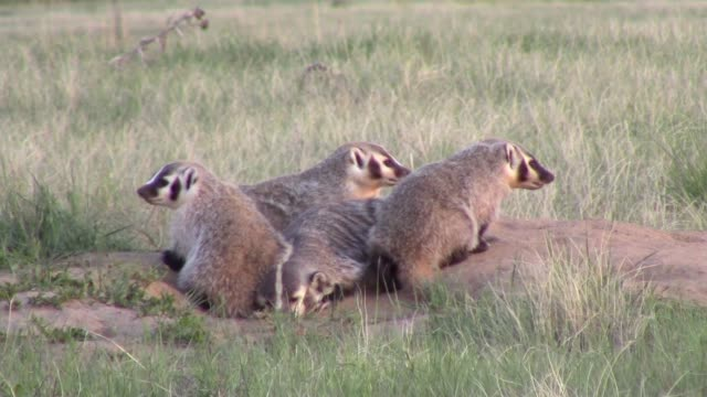 American Badgers outside of their den video