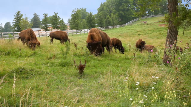 American Bison, Bison bison in a green field An American Bison, Bison bison in a green field prairie stock videos & royalty-free footage