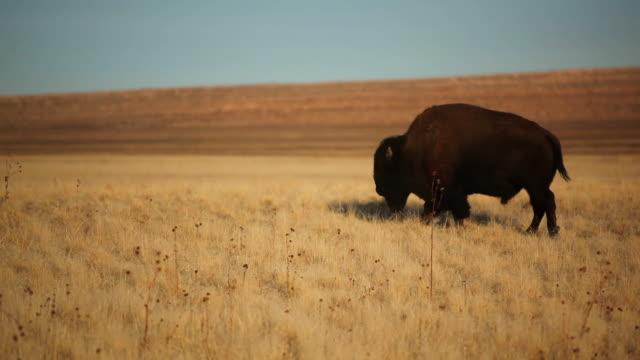 american bison grazing - single pampas grass bildbanksvideor och videomaterial från bakom kulisserna