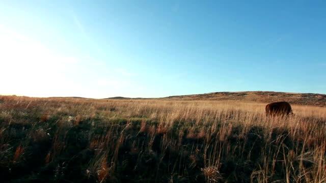 American Bison grazing video