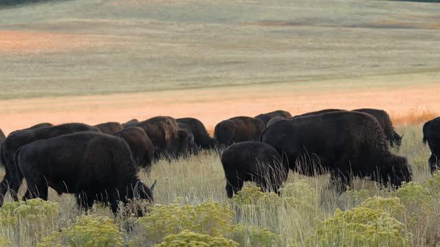 American bison herd in the golden rolling hills in autumn, Utah