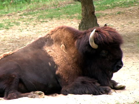 American Bison Resting On Hot Day (HD_link_below) video