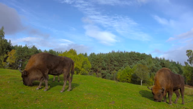 American Bisons grazing in a green field video