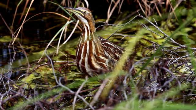 amerikanische rohrdommel, botaurus lentiginosus, sumpf in die everglades - rohrblattinstrument stock-videos und b-roll-filmmaterial