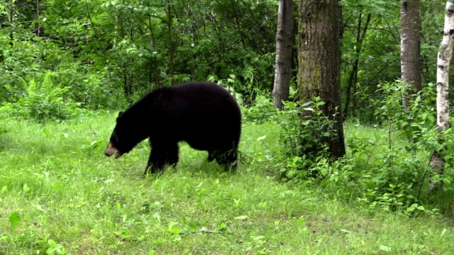 american black bear charges the camera - bear stock videos and b-roll footage