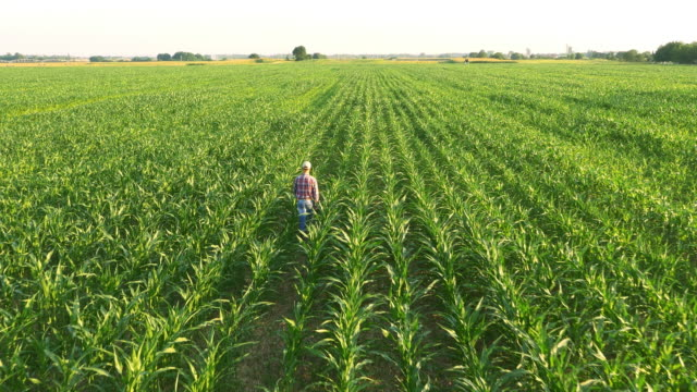 AERIAL American farmer walking in corn field video