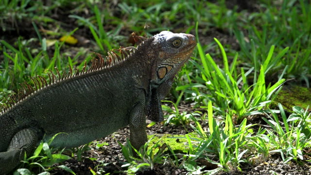 American green iguana running in super slow motion in the rainforest