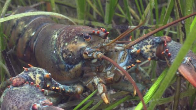 american lobster - морская рыба стоковые видео и кадры b-roll