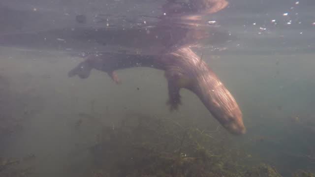 amerikan sansar ve su - etçiller stok videoları ve detay görüntü çekimi