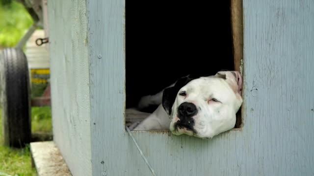 americano a casa cane pit bull - cane addestrato video stock e b–roll