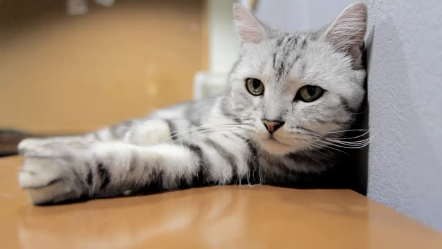 american shorthair rolled around on the table video