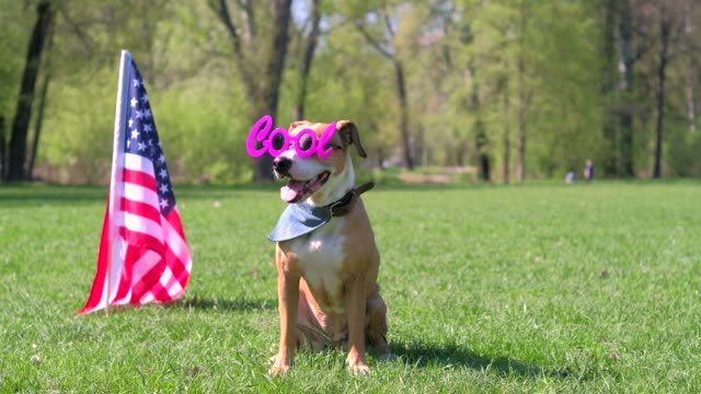 American staffordshire terrier dog in bandana and funny sunglasses at park in front of the USA flag video