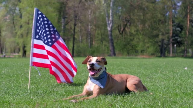 American staffordshire terrier dog rests at park on grass in front of USA flag video