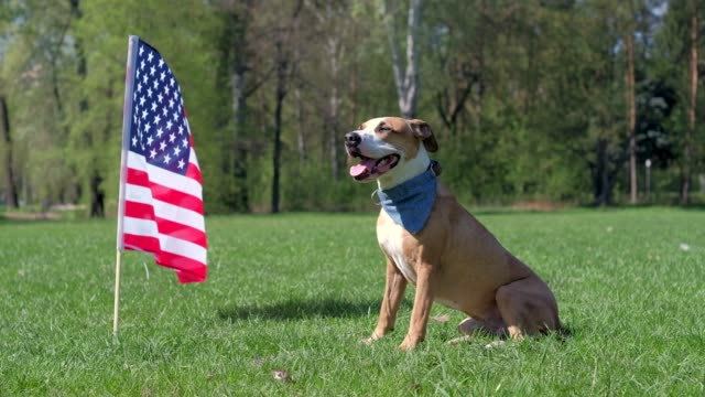 american staffordshire terrier dog sits at park on grass in front of usa flag - independence day stock videos & royalty-free footage