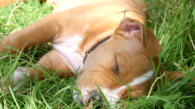 American staffordshire terrier puppy dog sleeping on the grass American staffordshire terrier puppy dog sleeping on the grass in summer garden terrier stock videos & royalty-free footage
