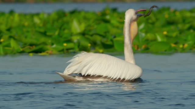American white pelican (Pelecanus erythrorhynchos). It breeds in interior North America, moving south and to the coasts, as far as Central America and South America