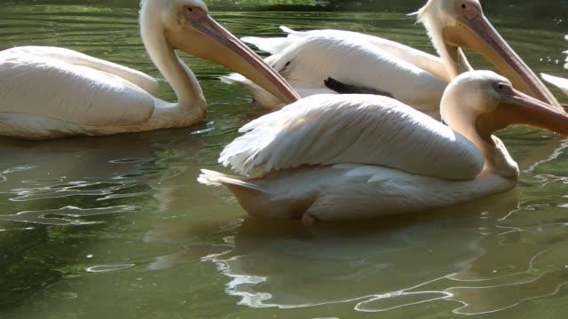 amerikanischer weißer pelikan - fruchtwasserbeutel oder dottersack stock-videos und b-roll-filmmaterial