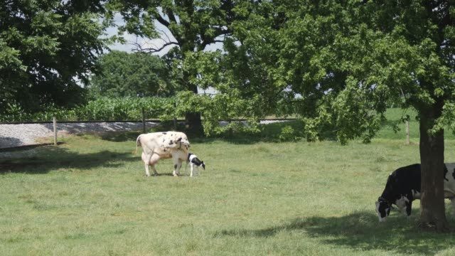 Amish Cow Protecting it's New Born Calf
