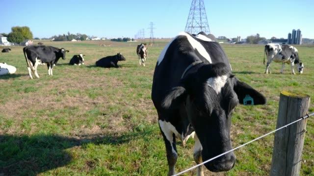 vidéos et rushes de vaches de ferme amish appréciant une journée ensoleillée dans les champs - vache laitière