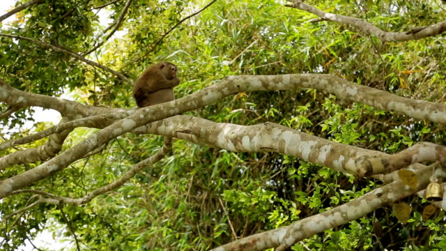 among branches of trees is a monkey and gnaws food - arto di animale arto video stock e b–roll