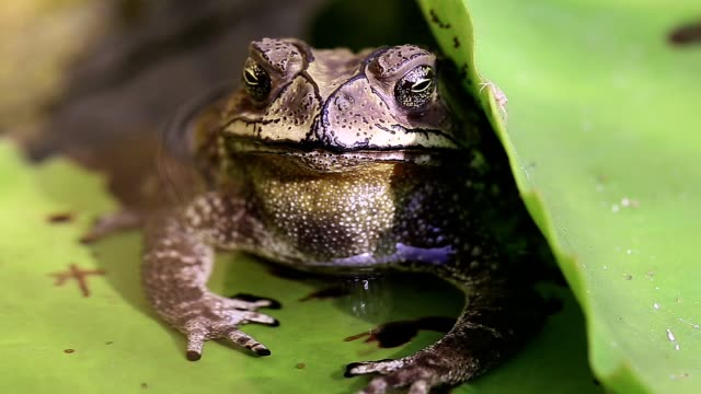 Amphibian life Big toad hide under lotus leaf amphibian stock videos & royalty-free footage
