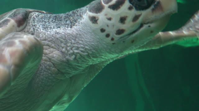 Amphibious Sea Turtle Swimming Amphibious Sea Turtle Swimming tortoise shell stock videos & royalty-free footage