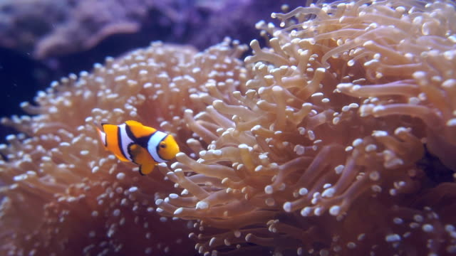 Amphiprion ocellaris (Clownfish) video