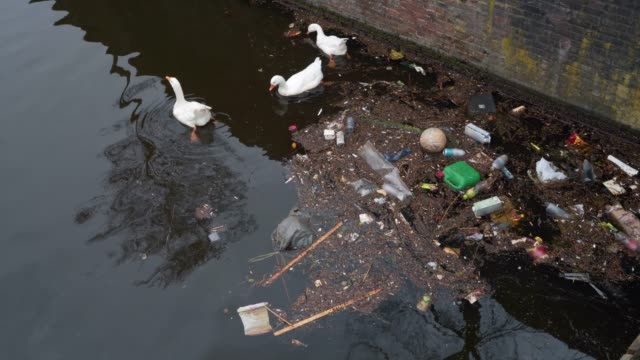 Amsterdam city trash and plastic bottles in water canal and white swans feed from garbage in river. Environment pollution video