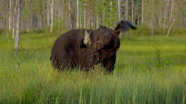 An adult brown bear runs for the forest looking for food