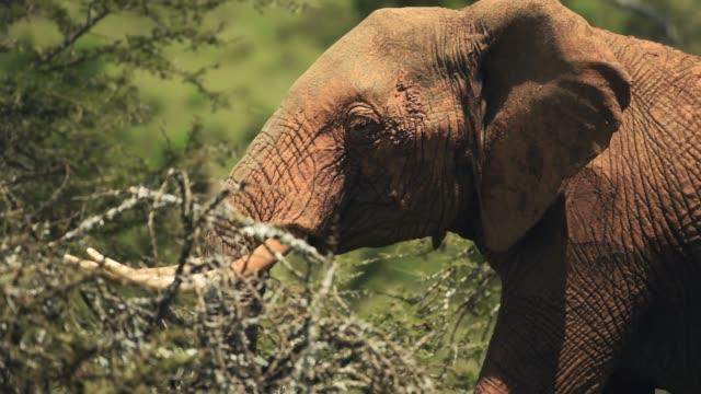An African Bush Elephant Walking Alone Behind The Plants Inside The El Karama Lodge. -medium shot