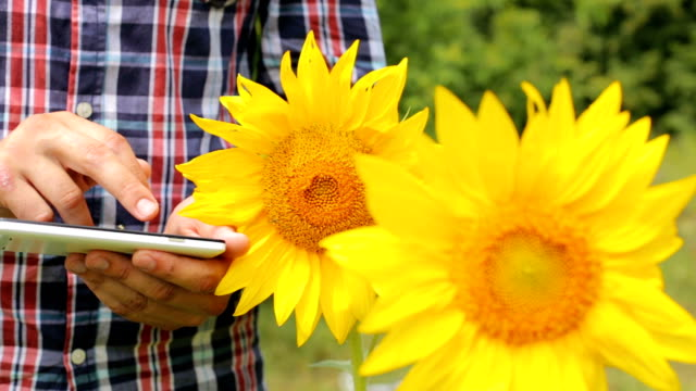 An agronomist on a sunflower field checks the harvest with a telephone
