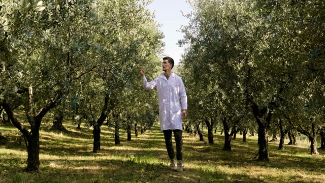 An agronomist with white coats walks between the olive trees to check the quality of the olives that will be harvested. An agronomist with white coats walks between the olive trees to check the quality of the olives that will be harvested. Concept of: quality, olives, science and bio. branch plant part stock videos & royalty-free footage