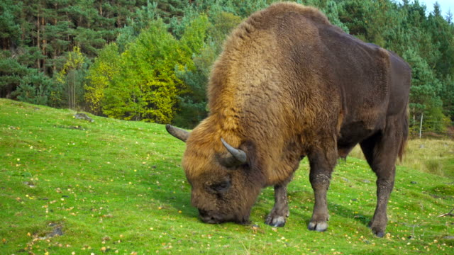 An American Bison grazing in a green field video