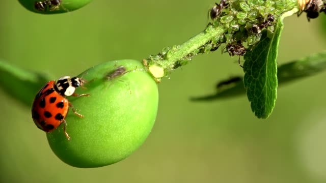 an ant displaced a ladybeetle on a sprig with plant louse, macro, 4k - жук стоковые видео и кадры b-roll