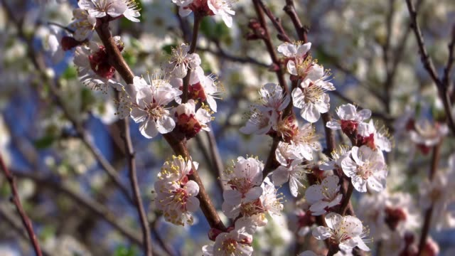 an apricot tree amazing blooms - albicocco video stock e b–roll