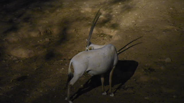an arabian oryx (oryx leucoryx)  critically endangered resident of the arabian gulf stands in the hot desert sand at night looking around  in al ain, united arab emirates. - senegal video stock e b–roll