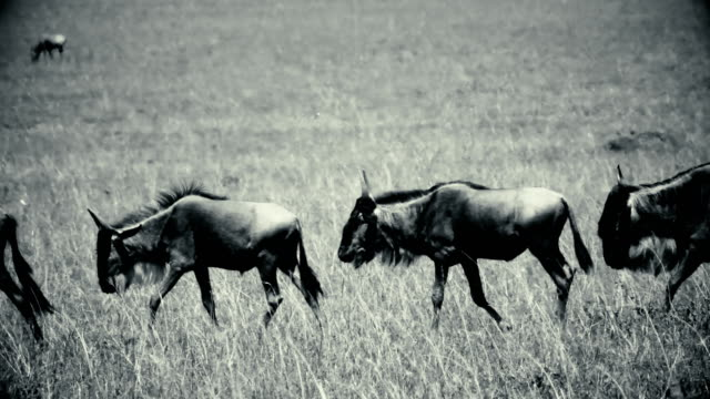 An archival style footage of wildebeest in Masai Mara