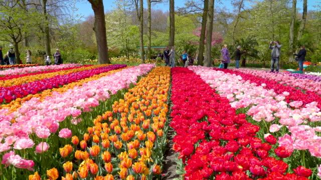 キューケンホフでパステル カラーのチューリップの花の配列 - キューケンホフ公園点の映像素材/bロール