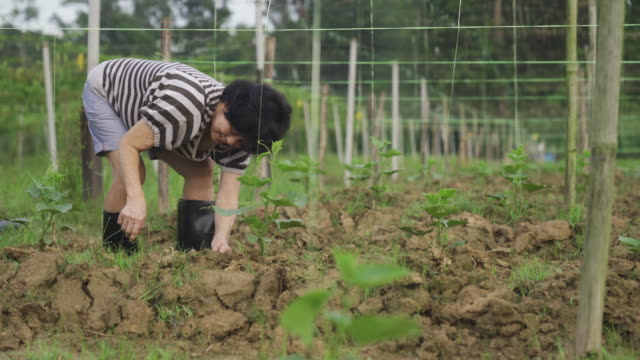An asian chinese active senior woman planting in her farm in the morning An asian chinese active senior woman planting in her farm in the morning small business saturday stock videos & royalty-free footage
