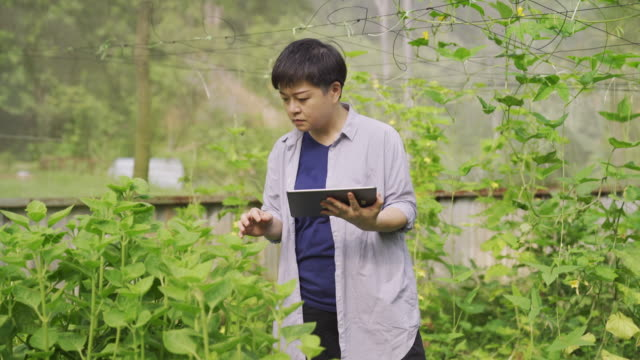 an asian chinese female mid adult woman examining on her farm fruit in greenhouse using digital tablet - bio food video stock e b–roll